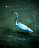 Garza de gran azul en el lago y Iris Gardens swan Fotografía de archivo