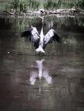 Garza de gran azul en el lago y Iris Gardens swan Imagen de archivo