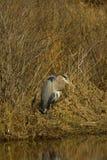Garza de gran azul en orilla Fotos de archivo