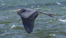 Garza de gran azul en vuelo Fotos de archivo libres de regalías