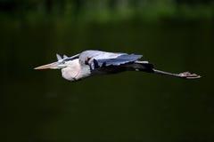 Garza de gran azul en vuelo. Imagen de archivo