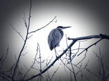 Garza de gran azul encaramada arriba sobre el río Arkansas Imagenes de archivo