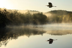 Garza de gran azul Flys sobre el lago de niebla en el amanecer Fotos de archivo
