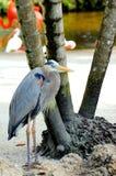 Garza de gran azul, la Florida del sur Foto de archivo libre de regalías