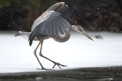 Garza de gran azul que acecha su presa en el río congelado Fotos de archivo