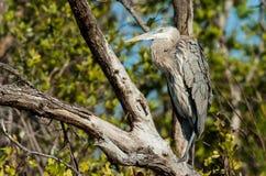 Garza de gran azul que se sienta en un árbol Foto de archivo libre de regalías