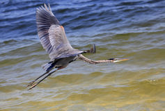 Garza de gran azul que vuela sobre el agua Imagenes de archivo