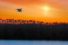 Garza de gran azul que vuela sobre la charca en la salida del sol Foto de archivo libre de regalías