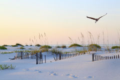 Garza de gran azul que vuela sobre la playa prístina de la Florida en la salida del sol Fotos de archivo libres de regalías