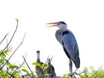 Garza de gran azul y dos polluelos en jerarquía Imagen de archivo