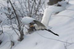 Garza de gran blanco en el viento blanco de la nieve durante invierno frío imagen de archivo libre de regalías