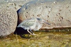 Garza de la lava de las Islas Gal3apagos Imagen de archivo libre de regalías