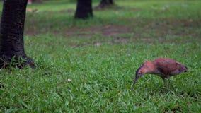 Garza de noche malaya de la cámara lenta que caza una lombriz de tierra para comer en el parque Taipei metrajes