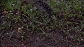 Garza de noche malaya de la cámara lenta que caza una lombriz de tierra para comer en el parque Taipei almacen de video