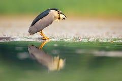 Garza de noche, pájaro de agua gris con los pescados en la cuenta, animal en el agua, escena de la acción de Hungría, hábitat de  Fotos de archivo