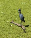 Garza de pequeño azul (caerulea del Egretta) Foto de archivo