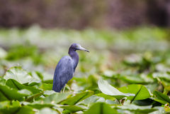 Garza de pequeño azul en los cojines de lirio del Spatterdock, reserva del nacional del pantano de Okefenokee Fotografía de archivo libre de regalías