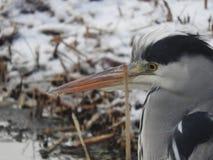 Garza del pájaro Fotografía de archivo libre de regalías