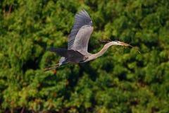 Garza del vuelo en el hábitat verde del bosque Escena de la acción de la naturaleza Garza de gran azul, herodias del Ardea, en mo Imagenes de archivo