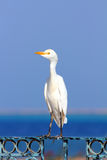 Garza egipcia - Bubulcus ibis Imágenes de archivo libres de regalías