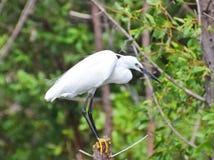 Garza en el bosque del mangle Fotografía de archivo