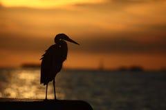 Garza en la puesta del sol Imágenes de archivo libres de regalías