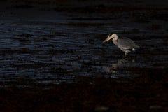Garza gris, Ardea cinerea, búsqueda, pescando, además, una piscina baja durante luz rígida de la madrugada en Escocia durante oct foto de archivo libre de regalías