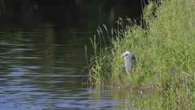 Garza gris, Ardea cinerea, esperando pacientemente además del spey del río, Escocia en junio almacen de metraje de vídeo