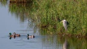 Garza gris, Ardea cinerea, esperando pacientemente además del spey del río, Escocia en junio almacen de video
