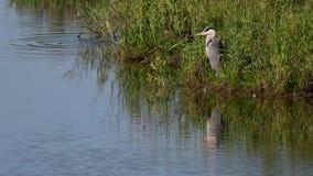 Garza gris, Ardea cinerea, esperando pacientemente además del spey del río, Escocia en junio metrajes