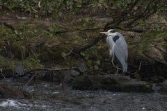 Garza gris, ardea cinerea, situación que busca para la comida por una cascada en lossie del río en el elgin, moray, Escocia imagen de archivo
