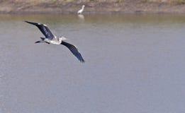 Garza gris, Ardea cinerea, vuelo, deslizándose sobre el agua Foto de archivo