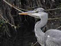 Garza gris en el río foto de archivo