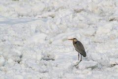 Garza gris en el río congelado foto de archivo