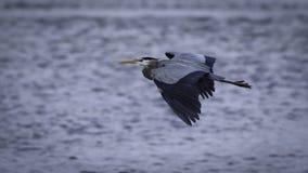Garza gris en vuelo Fotos de archivo libres de regalías