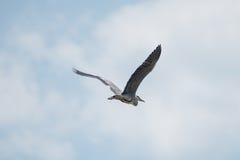Garza gris en vuelo Imagen de archivo libre de regalías
