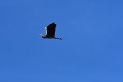 Garza gris en vuelo Fotografía de archivo