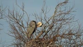 Garza gris, pájaros acuáticos en el árbol de la jerarquía, comportamiento animal en el hábitat del árbol de la naturaleza, Europa metrajes