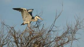Garza gris, pájaros acuáticos en el árbol de la jerarquía, comportamiento animal en el hábitat del árbol de la naturaleza, Europa almacen de video