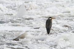 Garza gris que se sienta en el iceberg imagen de archivo