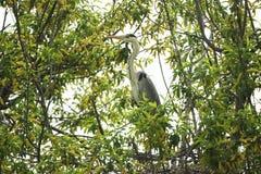 Garza gris que se sienta en las ramas de un sauce Fotos de archivo