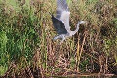 Garza gris que toma vuelo Fotografía de archivo