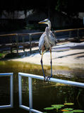 Garza magnífica que se relaja en el lago del agua dulce en Oxford FL Foto de archivo libre de regalías