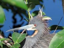 Garza o Egretta de Tricolored tricolor fotos de archivo libres de regalías