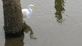 Garza que coge un pescado en Florence Oregon en el estuario metrajes
