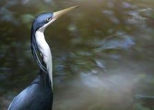 Garza que espera un pescado para subir Imagen de archivo libre de regalías