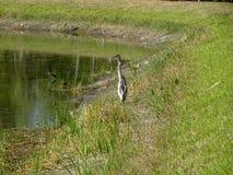 garza que vadea en el pantano fotografía de archivo libre de regalías