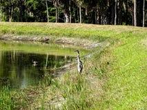 garza que vadea en el pantano fotografía de archivo