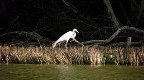 Garza reale fra le mangrovie fotografia stock libera da diritti