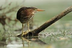 Garza verde joven que acecha su presa en el río Fotos de archivo
